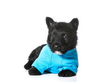 Scottish Terrier puppy — Fotografia Stock