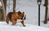 собака работает на снегу — Стоковое фото