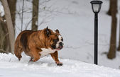 Dog running in the snow — Stock Photo
