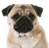 Pug head portrait — Photo