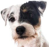 Jack terrier russel — Foto de Stock