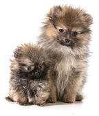Cachorros pomerania — Foto de Stock