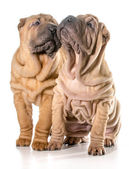 Two chinese shar pei puppies — Stock Photo