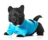 Scottish terrier cachorrinho — Fotografia Stock