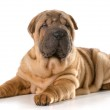 Chinese shar pei puppy — Stock Photo #44856303