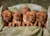 Litter of puppies — Stock Photo