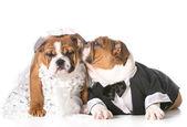 Époux et épouse de chien — Photo