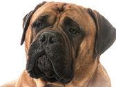Bullmastiff portrait — Stock Photo