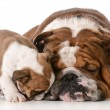 Bulldog father and son — Stock Photo
