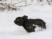 Dog running in the snow — 图库照片