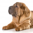 Chinese shar pei puppy — Stock Photo #45177525