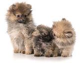Pomeranian puppies — Стоковое фото