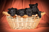 Litter of scottish terriers — Stock Photo