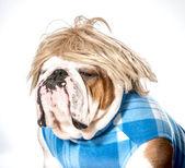 Englische bulldogge — Stockfoto