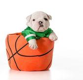 Sports hound — Stock Photo