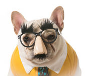 Dog in disguise — Stock Photo