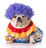 Hund-clown — Stockfoto