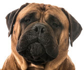 Bullmastiff head — Stock Photo