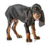 Black and tan coonhound — 图库照片