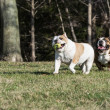 Two bulldogs playing catch — Stock Photo #45930017
