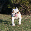 English bulldog running — Stock Photo