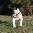 English bulldog running — Stock Photo #45930309