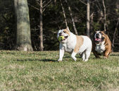 Two bulldogs playing catch — Stock Photo