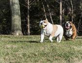 Two bulldogs playing catch — 图库照片