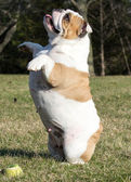 Bulldog begging to play — Stock Photo