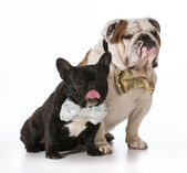 English and french bulldogs — Stock Photo