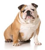 Engels bulldog — Stockfoto