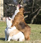 Two english bulldogs playing — Stock Photo