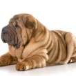 Chinese shar pei puppy — Stock Photo #47093437