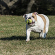 Dog playing catch — Stock Photo