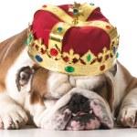 Dog wearing crown — Stock Photo #47095275