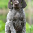 German shorthaired pointer — Stock Photo #47095365