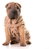 Chinese shar pei — Stock Photo