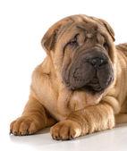 Chinese shar pei puppy  — Stock Photo