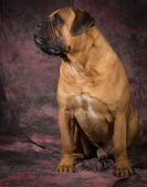Bullmastiff sitting — Stock Photo