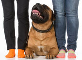 Bullmastiff and his owners — Stock Photo