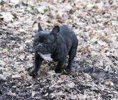 French bulldog — Fotografia Stock