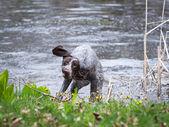 Dog skaking after swim — Stok fotoğraf