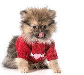 Sevimli köpek yavruları — Stok fotoğraf