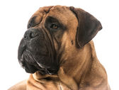 Bullmastiff portrait — Stock Photo