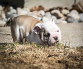 Puppy playing outside — Stock Photo
