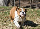 Bulldog inglés llevar palo — Foto de Stock