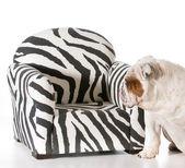 Dog on furniture — Foto de Stock