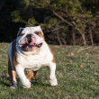 English bulldog running — Stock Photo #48110363