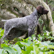 German shorthaired pointer — Stock Photo #48110481