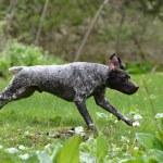 ������, ������: Wet dog running